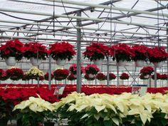 Poinsettia Hanging Baskets at Hamilton Farms in Boonton Twp, NJ