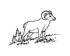 Big Horn Sheep Sheep Horn and Printmaking