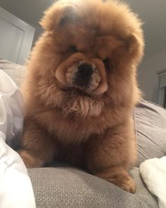 Fluffy Dogs, Fluffy Animals, Cute Baby Animals, Animals And Pets, Perros Chow Chow, Chow Chow Dogs, Cute Dogs And Puppies, I Love Dogs, Doggies