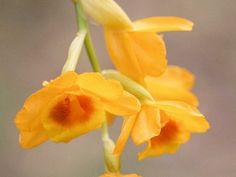 Dendrobium Chrysocrepis   gal-dendrobium3-chryseum
