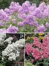 Phlox Garden Collection