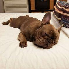 Frank the French Bulldog❤❤ #Frenchbulldog #buldog