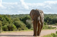 Elephant walking on the dusty road  Elephant walking on the dusty road in the field.