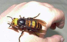 Японский огромный шершень пчелы, Насекомые, шершень, длиннопост