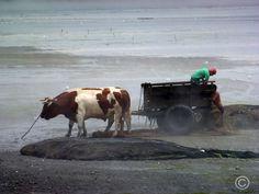 Des charriots tirés par des boeufs sur une place de Chiloe dans le sud du Chili