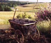 In love with lavender | Living the Country Life  HavenHill Lavender Farm in Silverton Oregon