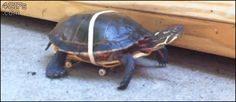 This turtle who has recently discovered just how fast he can be. | 29 Things That Are Way More Important Than Work Right Now