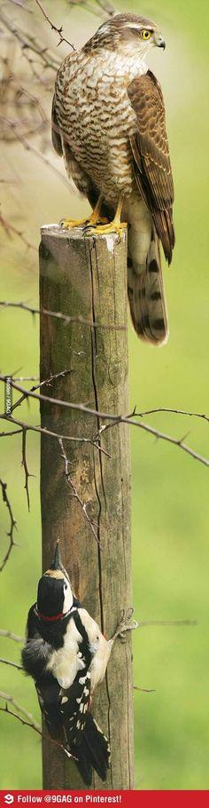 How a smart bird hides from its predator.