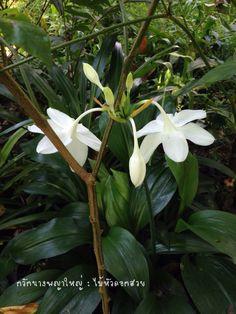 กวักนางพญาใหญ่ #ว่าน #ไม้มงคล #กวัก #บ้านสวนไม้หัวดอกสวย #ขายไม้หัว #ไม้หัวดอกสวย https://m.facebook.com/longsuttirak