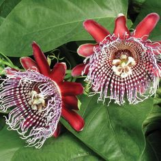 Passion Flower (Passiflora x decaisneana) - Sweetly fragrant flowers appear in the warmer months on this vine that can be grown on a pot to limit is rampant growth.