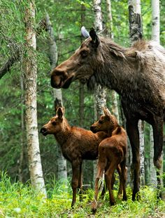 Moose mother with two calves.