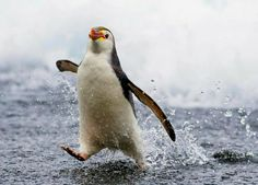 Royal Penguin Penguins running out of the water By: Happy Animals, Nature Animals, Cute Baby Animals, Animals And Pets, Funny Animals, Penguin Pictures, Cute Animal Pictures, Cute Creatures, Beautiful Creatures