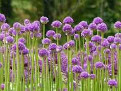 Allium flower - desc