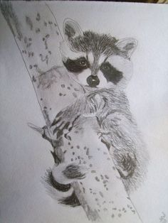 sketches on racoons | Raccoon Portrait Pencil Sketch 9 x 12 U Provide by pigatopia, $100.00