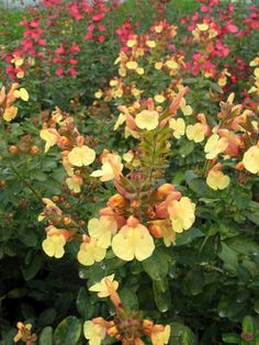 Salvia Suncrest 'Golden Girl'