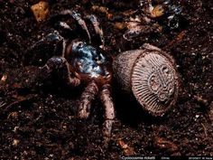 Foto de outra aranha da mesma espécie – Reprodução