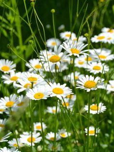 Field full of daisies (September)