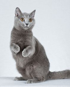"""See the """"Chartreux"""" in our Cat Breeds for ''Dog People'' gallery"""