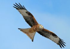 Red Kite - Image © Jane Baxter