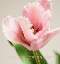 Canova Tulip sugar flower