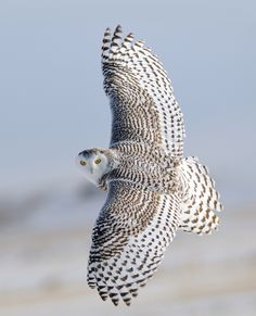 Snowy Owl: Snowy owls rely on speed to catch prey on the wing. Their hearing is so acute that they can locate lemmings as they tunnel under the snow. Image credit via audobon http://digital.livingbird.org/livingbird/spring_2014?__hstc=75100365.5899a2e592e52baa555c8aec50309ff1.1416754639402.1416754639402.1416754639402.1&__hssc=75100365.7.1416754639402&__hsfp=481895166#pg20 #Snowy_Owl