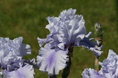 https://flic.kr/p/4SHwTp | Iris - Ascent Of Angels | From my Mom and Dad's garden
