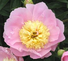 Hollingsworth Peonies - Show Girl