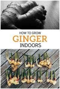 This guide from Craftsy will show you how to grow an endless supply of ginger indoors. Because it's low maintenance, ginger is a great root for your indoor garden. Click in to learn how you can start growing ginger.
