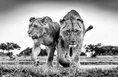 "Photo of the Week ""Through a prey's point of view"" #africa #lions"