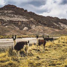 """alexperezbo: """"Una llama, dos llamas, tres llamas, cuatro llamas • • • #llama #landscape #oruro #bolivia #sky #clouds #colors #instagood #travel #trip #sun #fotodeldia #photoofday #picoftheday #iphone..."""