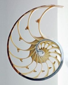 The incredible complexity of nature. A cross section of a Nautilus Shell. Concha Nautilus, Nautilus Shell, Ancient Egyptian Art, Ancient Aliens, Ancient Greece, Ancient History, Shell Drawing, Spirals In Nature, Shell Tattoos