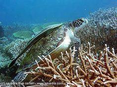 turtleMoalboal-malaspascua Island