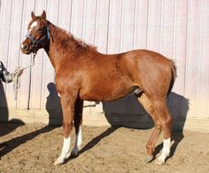 Yeomansescape - Chestnut  Thoroughbred Colt in New Salem, North Dakota 58563