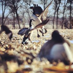 #geese #hunting #waterfowl
