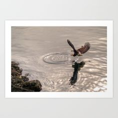 Hunting Eagle (Photo) - Collect your choice of gallery quality Giclée, or fine art prints custom trimmed by hand in a variety of sizes with a white border for framing.
