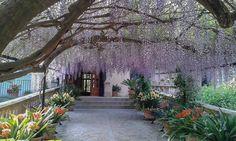 glicinias en plena floración en los Jardines de Alfabia