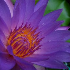Water lily a closeup
