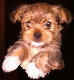 Shorkie Puppy Information - Pets