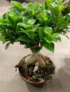 Plantehjelp: Ficus Ginseng