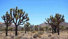 Joshua Tree National Park is known for its iconic trees, but Joshua tree habitat is expected to shrink dramatically because of climate change.