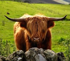 Highland Cattle, western Scotland (July 2009)