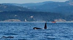 L-pod spotted in and around Victoria, Esquimalt and Metchosin June 2016.