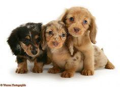 Miniature Dachshund Puppies | Cute Puppy Dogs: long haired miniature dachshund puppies