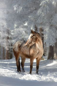 appaloosa horse in the snow Appaloosapferd im Schnee Horses In Snow, Wild Horses, Most Beautiful Horses, All The Pretty Horses, Beautiful Creatures, Animals Beautiful, Cute Animals, Forest And Wildlife, Wildlife Art