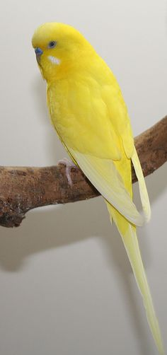opaline double-factor yellow spangle male English budgie