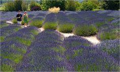Lavender Field at Matanzas Creek Winery near Santa Rosa, CA - photo by Peter DaSilva for The New York Times
