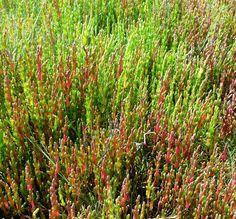 Salicornia europaea - Zeekraal - Samphire/Common Glasswort  https://en.wikipedia.org/wiki/Salicornia_europaea