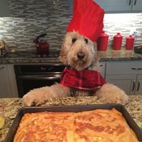 goldendoodle Max is in the kitchen