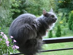 Pretty Cats, Beautiful Cats, Cool Cats, Grey Cat Breeds, Nebelung Cat, Giant Cat, Cat Anatomy, Cat Reference, Animal Sketches