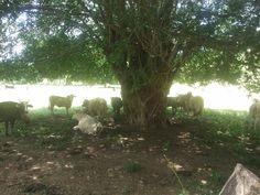 Vacas sesteando